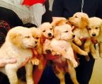 hvalpe Golden Retriever