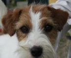 jack russell terrier kennel