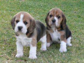 beagle hund til salg