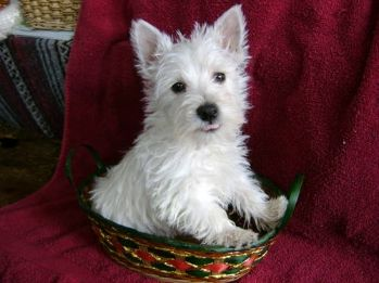 West Highland White Terrier hvalpe til rådighed for godt hjem