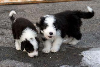 collie hund til salg