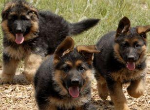 Flot Hunde vedtage Hovedstaden, hvalpe giver Hovedstaden, hvalpe DD-97