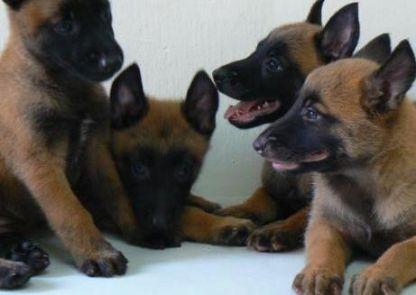 Smuk Hunde vedtage Hovedstaden, hvalpe giver Hovedstaden, hvalpe QZ-15
