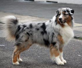 australsk hyrdehund hvalpe