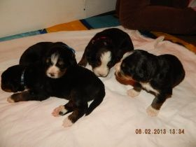 Berner-Sennenhund-puppies