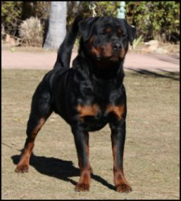 CKC Registered Rottweiler Puppies