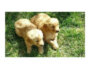 Golden Retriever hvalpe