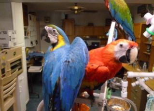 Baby parrots,macaws,cockatoos and amazons parrots and parrot eggs for sale.
