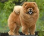 hvalpe chow chow 8 uger