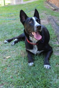 Patch Border Collie