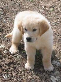 Airedale terrier hvalpe til salg