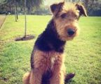 AIREDALE TERRIER FRA KENNEL