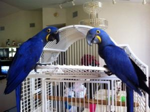 Talking and Singing Hyacinth Macaw Parrots