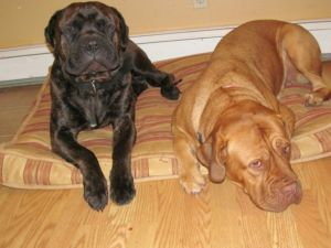 Dougue de Bordeaux and Bullmastiff puppies