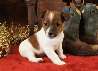 Disse Jack Russell hvalpe