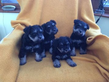 Good looking Male and Female schnauzer puppies for Adoption
