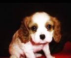 Cavalier king charles spaniel kennel